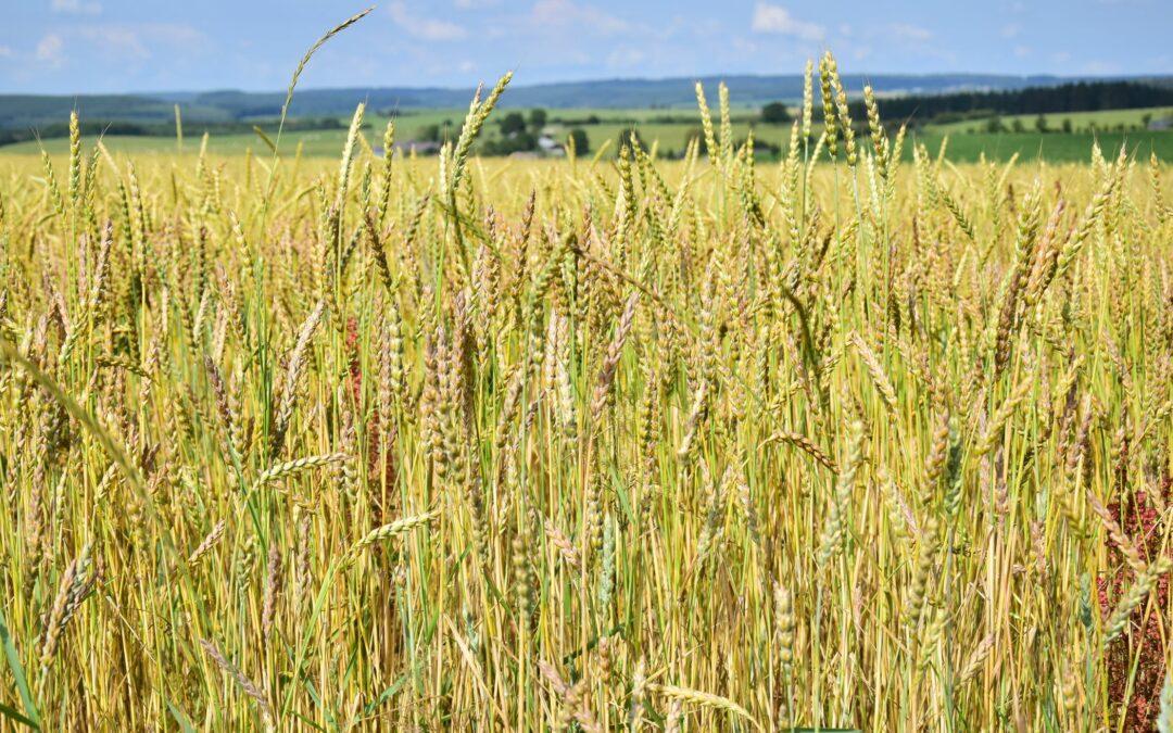 Filière farine : les producteurs du Réseau RADiS s'organisent !