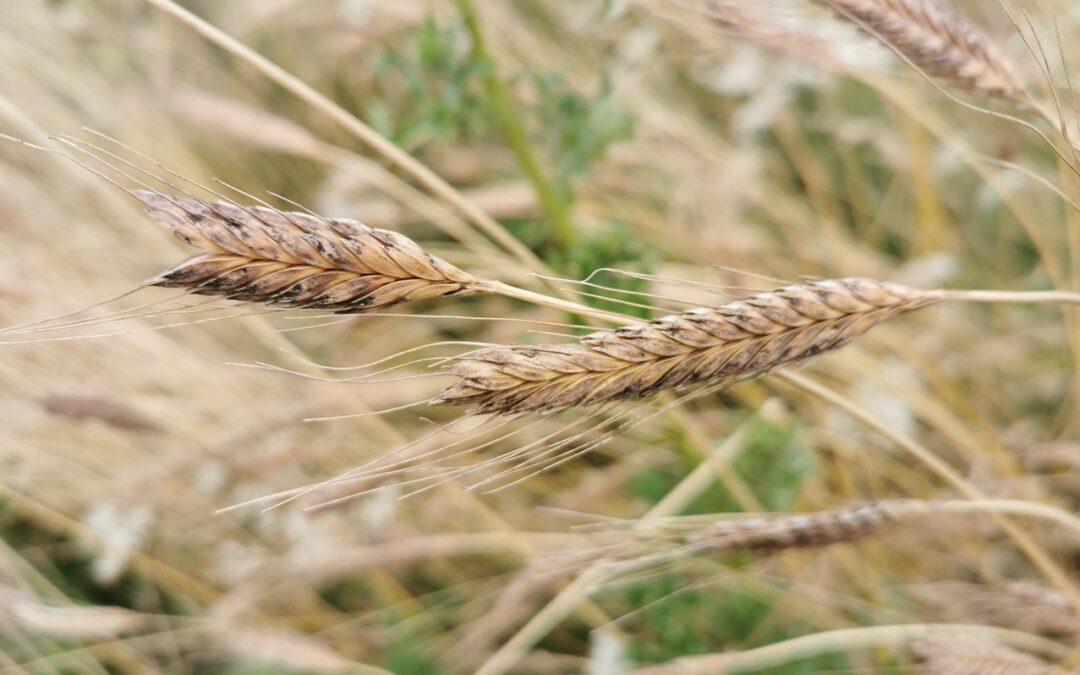 Lu 13/9 «Céréales alimentaires : de la semence à la farine»